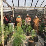 Terungkap  Ladang Ganja di Lantai 2 Rumah Milik Warga